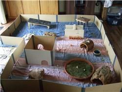 Meerschweinchen im provisorischen Vergesellschaftungs-Gehege