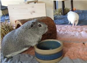 Meerschweinchen Fips wird von Frieda verjagt