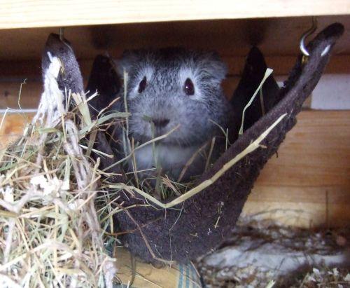 Meerschweinchen Frieda in der Waschlappen-Hängematte