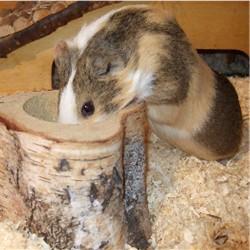 Meerschweinchen Conny trinkt aus einem Holznapf
