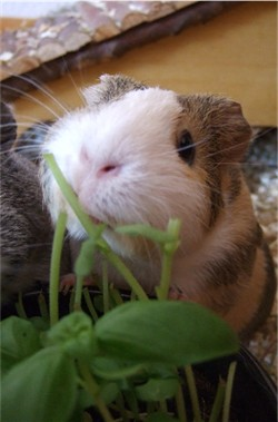 Meerschweinchen Conny mampft Basilikum