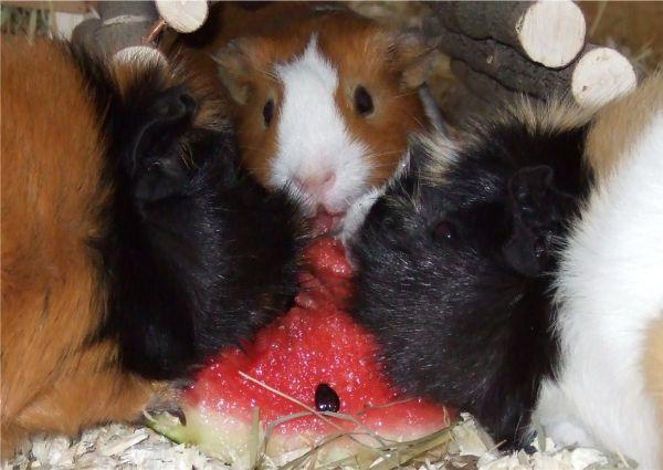 Meerschweinchen Wassermelone