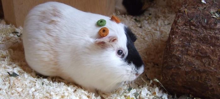 Meerschweinchen Fips dekoriert sich mit Wiesenringen