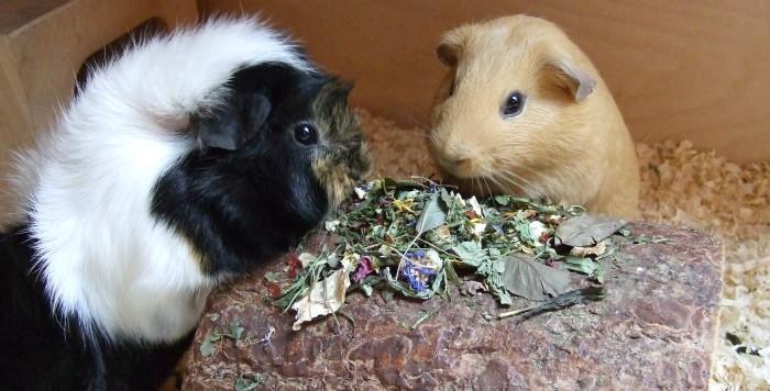 Meerschweinchen Ilani und Flummi mampfen Wirbelchen