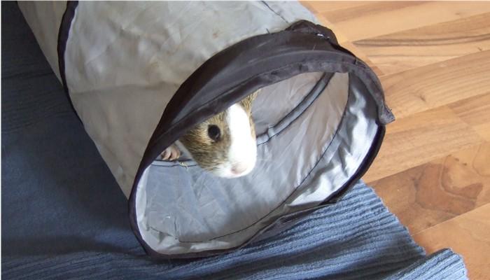 Meerschweinchen Conny fühlt sich im Tunnel sicherer