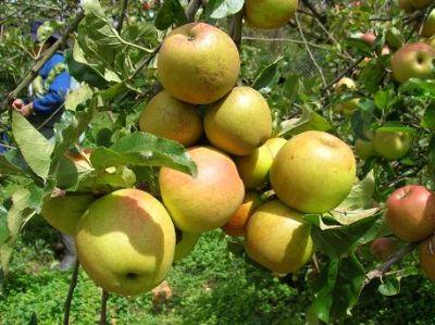 Nuestra tradicional fruta LA MANZANA