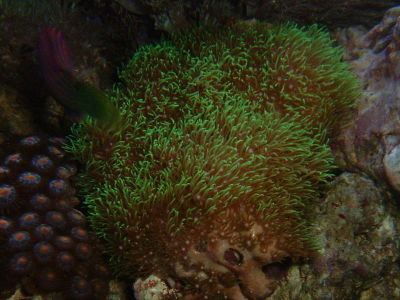 light flourecent green star polyp 5 8 depending on size