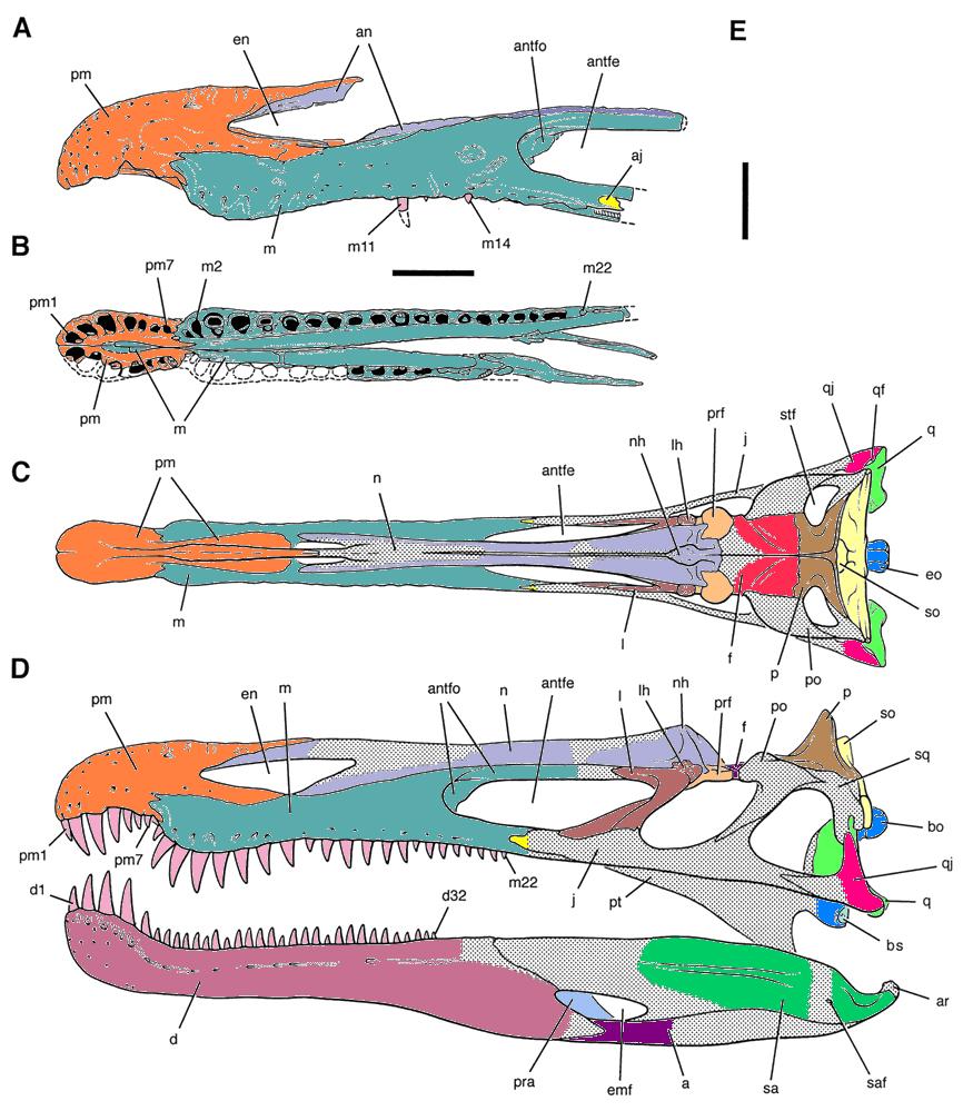Spinosauridae anatomie des spinosauridae for Fenetre mandibulaire