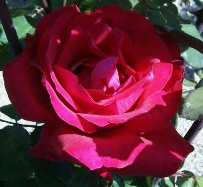 Colore rosa fucsia significato