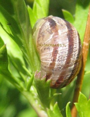 Taxonomia moluscos for Caracoles de jardin