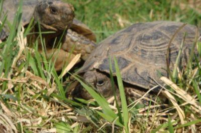 Griechische landschildkröte züchter