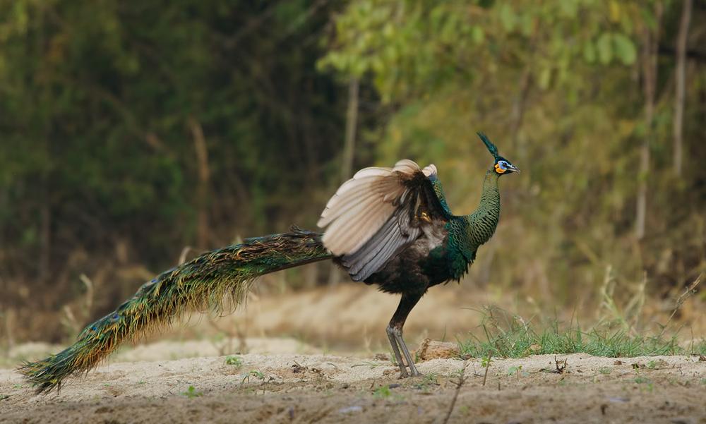 http://img.webme.com/pic/t/thailand-naturfotos/green-peafowl-iii-043.jpg