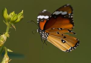 http://img.webme.com/pic/t/thailand-naturfotos/plain-tiger-40.jpg