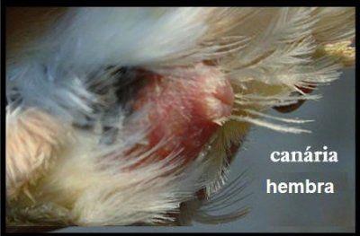 canario macho hembra: