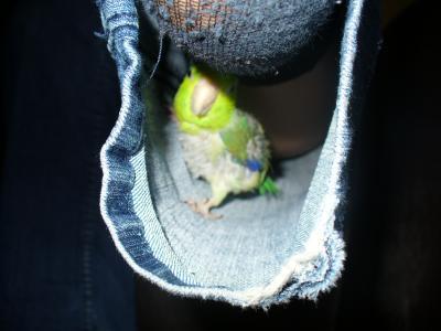 Toui c leste vert l o maladies for Maladie poules perte plumes