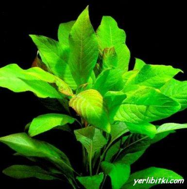 Sualtı limon bitkisi