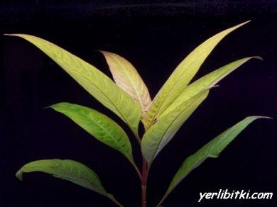 Sualtı tütün bitkisi