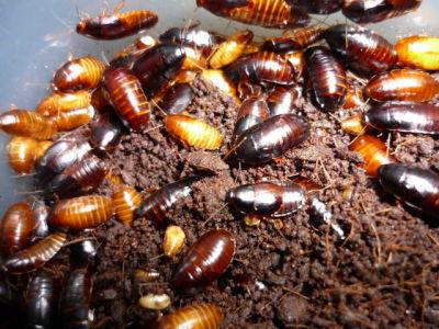 Blattes rares et fourmis 97
