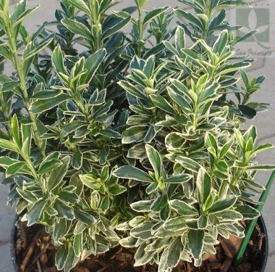 Viverolosliriospaisajismo arbustos para cerco vivo - Plantas perennes exterior ...