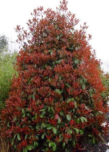 Viverolosliriospaisajismo arbustos para cerco vivo for Arboles de hoja perenne para jardin