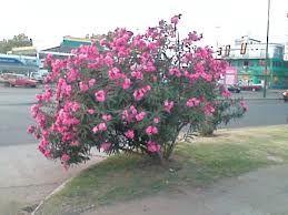 Viverolosliriospaisajismo arbustos para cerco vivo - Arbustos enanos para jardin ...