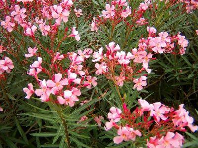 Viverolosliriospaisajismo arbustos para cerco vivo - Arbusto pequeno con flores ...