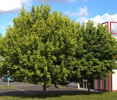 Viverolosliriospaisajismo forestacion urbana y rural for Arboles de jardin que den sombra