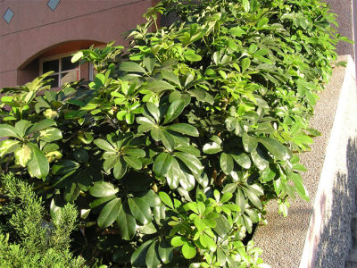 Viverolosliriospaisajismo arbustos para cerco vivo for Arbustos para patios