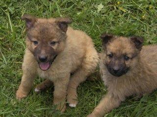 Westerwälder Kuhhund Welpen