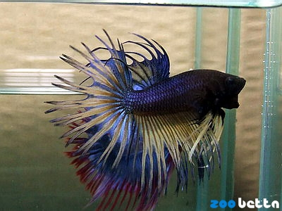 Zoo betta splendens home for Kampffisch zucht