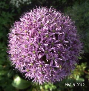 Zur Hederaue Zwiebelblumen