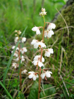 Wintergrün, Rundblättriges (Pyrola rotundifolia)