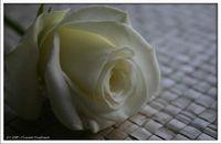 beyaz gül