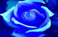 Mavi Gül
