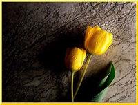 Sarı Gül