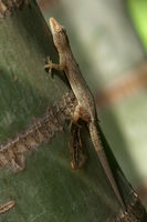 Flat-Tailed Gecko