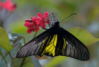 Golden Birdwing ♂