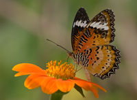 Leopard Lacewing ♂