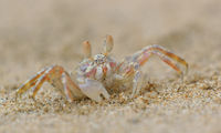 Small Ghost Crab