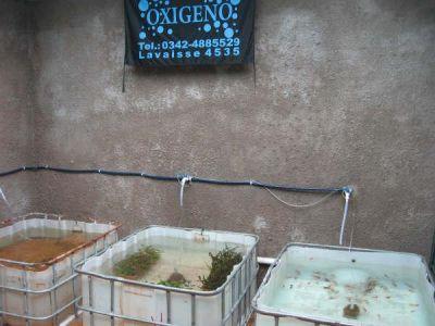 Acuariooxigeno criadero de peces viviparos for Criadero de peces en casa
