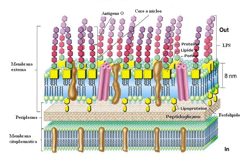 Aexbe pared bacteriana texto for Pared y membrana celular