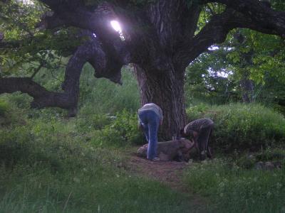 pekmezci köyü 500 yıllık ceviz ağacı