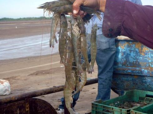 Alevinos del valle org agroacuicola cultivo de camaron for Como cultivar tilapia en estanques