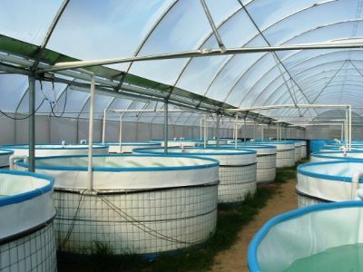 Alevinos del valle org agroacuicola biofloc bio Estanques para piscicultura
