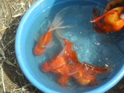Alevinos del valle org agroacuicola goldfish galery for Reproduccion de peces ornamentales
