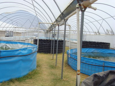 Alevinos del valle org agroacuicola manejo t cnico for Tanques para peces geomembrana