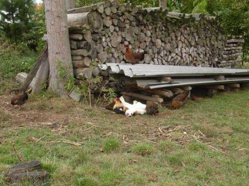 Altsteirer-Hühner - Auslauf