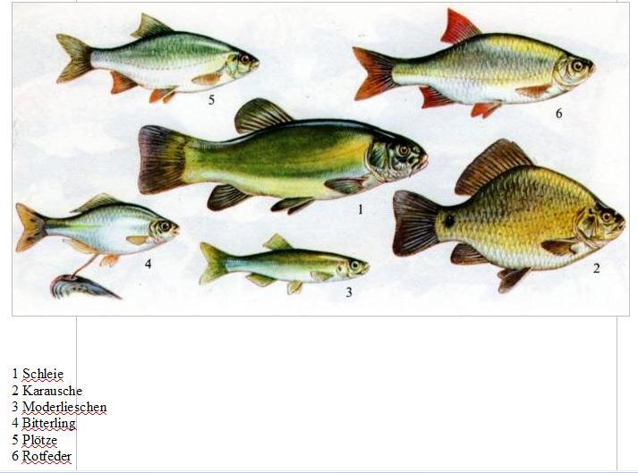 Angelverein alt schmellwitzer angelfreunde einheimische for Einheimische fische gartenteich