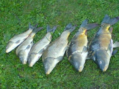 Unsere angler homepage infos ber heimische fische for Heimische fische
