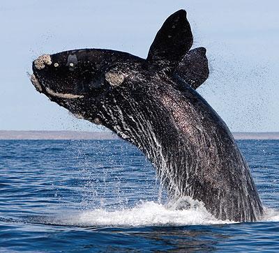 Resultado de imagen para ballena franca austral